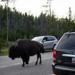 This can happen when you ride through Yellowstone. The bison didn't seem to care much about all the cars (and the lone bicycle) surrounding it.