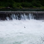Jumping fish in the Wenatchee River.